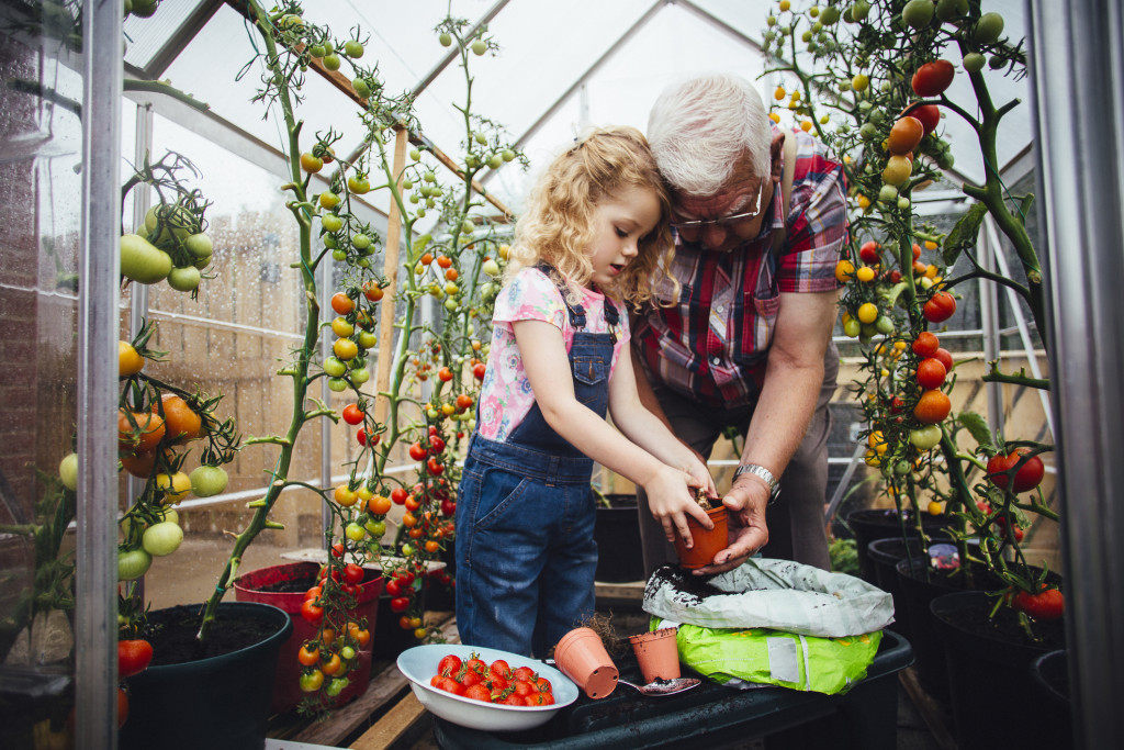 Little girl helping her Grandad plant tomatoes in a greenhouse in his garden.