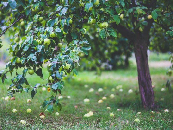 Osvedčené ovocné stromy, ktoré patria do každej záhrady